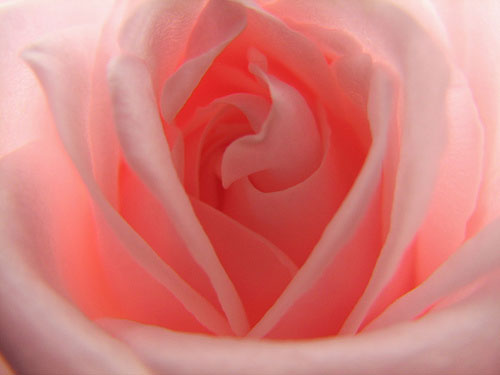 pink-rose-petals-new-york-state-flower