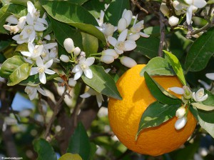 citrus_sinensis-1large