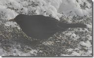 svarttrosthann