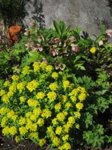 euphorbia og helleborus